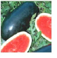 Watermelon Pumba F1 Image